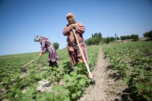 Women work a cotton field outside of Osh, July 2011. (David Trilling)
